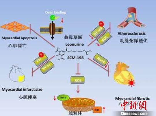 """飞艇开奖几点到几点:中国科学家率先发现益母草碱""""降脂""""效果明显"""