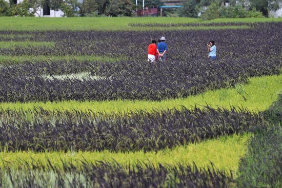 五色水稻吸引摄影爱好者。