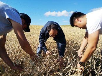中化作物技术团队在蒙古查看小麦生长情况