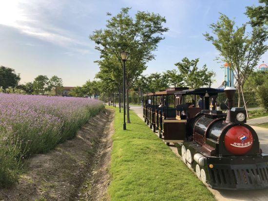 15万平米紫色花海 上海薰衣草节营造法式浪漫