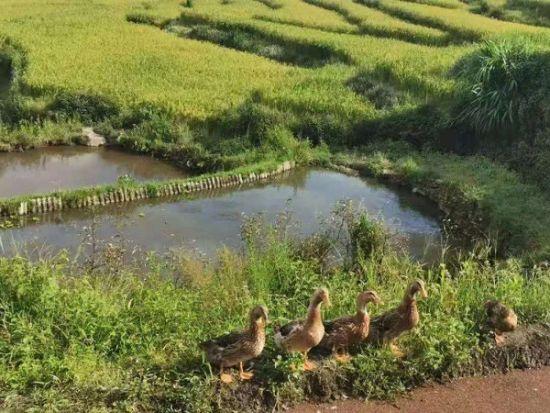图:红河县大力发展梯田鸭产业。