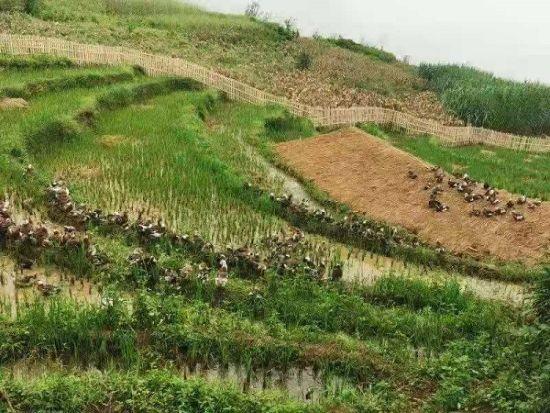 图:梯田鸭产业助力脱贫攻坚。