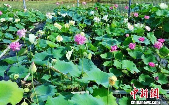 澳门网上赌博平台:中国首个国际荷花资源圃落户上海辰山植物园
