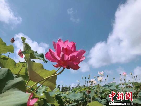 全天北京快乐8免费计划:寻着荷花到新浜_786个荷花品种绽放上海松江